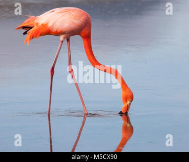 American Flamingo (Phoenicopterus ruber) wading in saline lake - Stock Photo