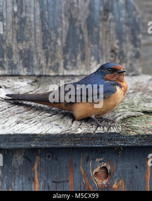 Barn Swallow (Hirundo rustica) perched on nestbox at Frank Lake Conservation Area - Stock Photo