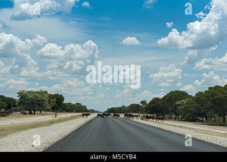 A small herd of cows crosses the B8 road south of Rundu, Namibia - Stock Photo