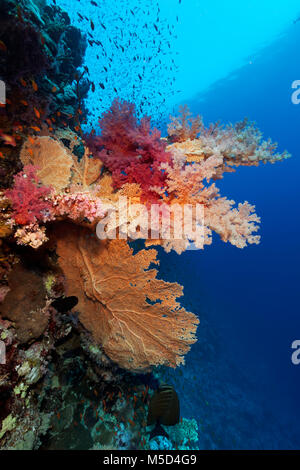 Coral reef, large gorgonian (Annella mollis), various Soft corals (Alcyonacea), red, Red Sea, Egypt - Stock Photo