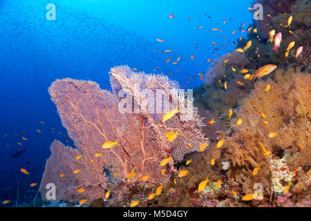 Coral reef densely overgrown with Gorgonians (Gorgonacea), Giant Sea Fan (Annella mollis), fish shoal Sea goldies - Stock Photo