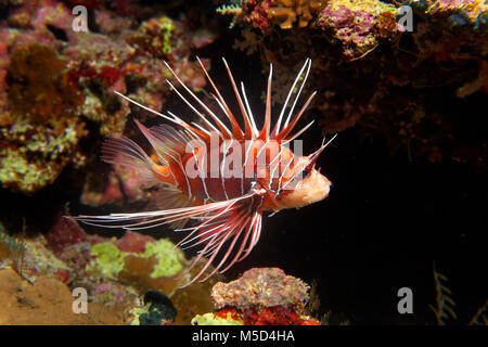 Radial firefish (Pterois radiata) at the coral reef, nocturnal, Red Sea, Egypt - Stock Photo