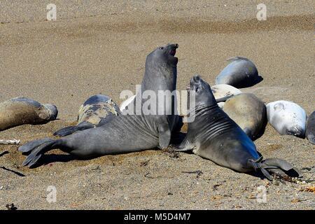 Southern elephant seals (Mirounga leonina), Peninsula Valdes, Chubut, Argentina - Stock Photo