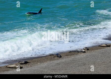 Killer whale (Orcinus orca) searching for prey in front of gravel bank with Southern elephant seals (Mirounga leonina) - Stock Photo