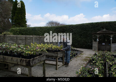 Man tending Hellebore plants for sale at Nursery in Bovigo Gardens Cornwall. The plants are sold at the annual Hellebore - Stock Photo