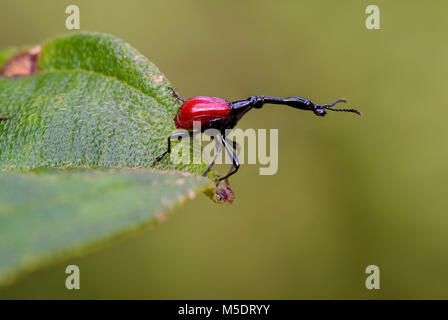 Giraffe-necked weevil - Trachelophorus giraffa, beautiful red iconic Madagascar beetle from east coast tropical forest.