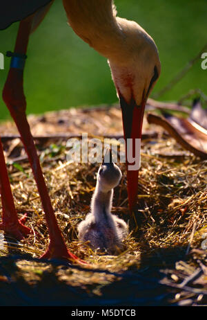 White Stork, Ciconia ciconia, Ciconiidae, Stork, nest, nestling, downy young, begging, bird, animal, Zoo area, Zürich, - Stock Photo