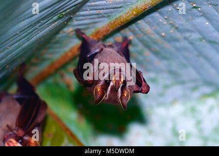 Tent-making bat, Uroderma bilobatum, Phyllostomidae, bat, mammal, animal, Puerto Viejo, Costa Rica - Stock Photo