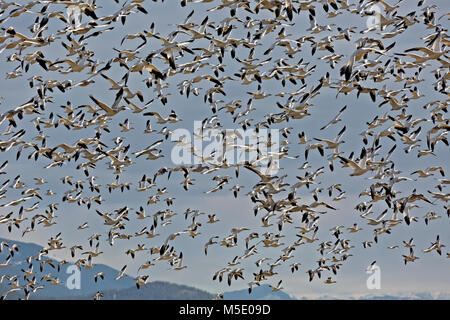 WA13571-00...WASHINGTON - Hundreds snow geese taking to the air all at once when a bald eagle flies over the field - Stock Photo