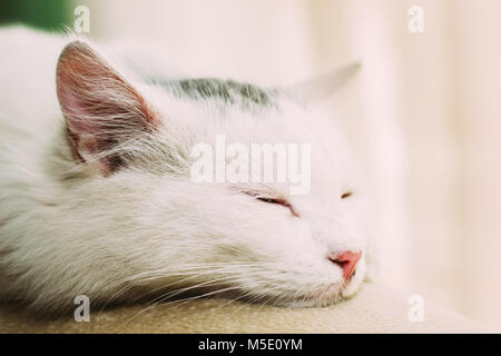 The domestic cat of white color sleeps on the back of the sofa. Close-up - Stock Photo
