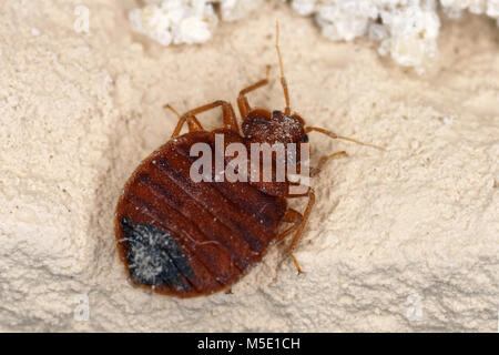 Bed bug Cimex lectularius parasitic insects of the cimicid family feeds on human blood. Insect on the wall of the apartment Stock Photo