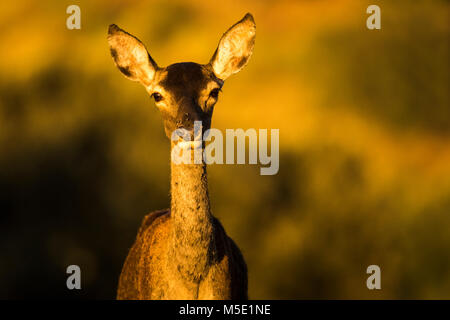 A Young deer /Cervus elaphus) looking straight to you - Stock Photo