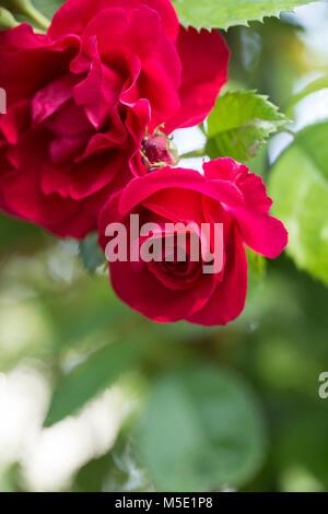 romance, petal, romantic, valentine, plant, love, beautiful, beauty, flower, rose, nature, rose flowers, rose flower, - Stock Photo