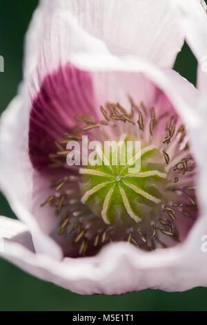 macro, poppy, flower, nature, plant, natural, green, garden, beautiful, summer, white, flora, beauty, botany, floral, blossom, bloom, texture, botanic