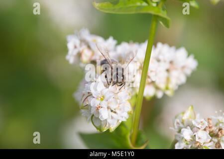 honey, beauty, floral, background, petal, white, nature, filthy, pollen, field, bee flower, sunny, proboscis, amazing, - Stock Photo