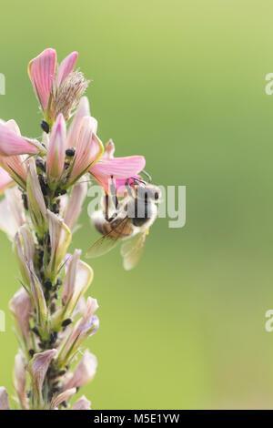 background, beautiful, bee, blue, farm, field, flower, garden, green, honey, honeybee, landscape, macro, meadow, - Stock Photo