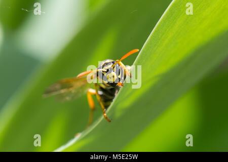 animal, control, danger, day, fly, garden, insect, macro, nature, shine, sting, summer, venom, wasp, wildlife, yellow - Stock Photo