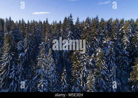 Spruce coniferous forest covered with snow in winter - Stock Photo