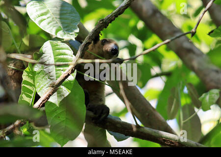 Wild Northern Tamandua looking down from a tree in the rainforest of the remote Corcovado National Park in southern - Stock Photo