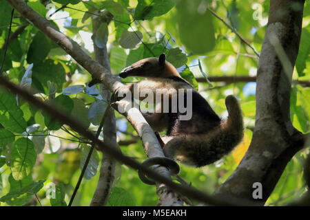 Wild Northern Tamandua licking ants of a tree in the rainforest of the remote Corcovado National Park in southern - Stock Photo