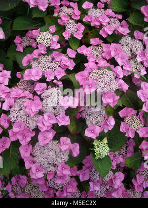 Close up of pink Lacecap Hydrangea showing small fertile flowers in middle and large sterile flowers around outside - Stock Photo