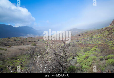 Gran Canaria, February 2018, almond trees starting to bloom late in the valley of Tirajana - Stock Photo