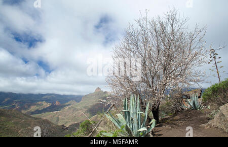 Gran Canaria, February 2018, view into Caldera de Tejeda from the south, flowering almond tree - Stock Photo