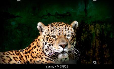 Close-up view of a Jaguar (Panthera onca) / jaguar/ feline/ close up/ portrait - Stock Photo