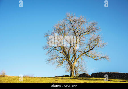 An old  tree bathed in evening sunlight on a hill beside a dry stone wall in Derbyshire peak district  England UK. - Stock Photo