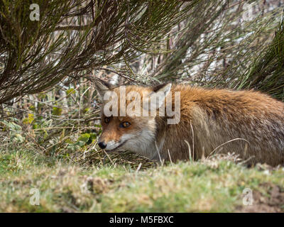Cute red fox (Vulpes vulpes) hidden and crouched down - Stock Photo