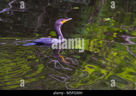 The rippled water reflects a double crested cormorant swimming along a canal in Southwest Florida. - Stock Photo