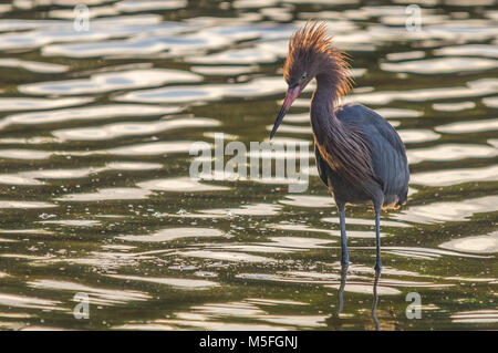 A male reddish egret wades in the shallows with a display of ruffled feathers atop his head in search of a mate. - Stock Photo