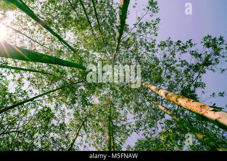Retro effect with lens flare tall trees rising skyward converging skyward with green leaves beyond tall tree-trunks. - Stock Photo