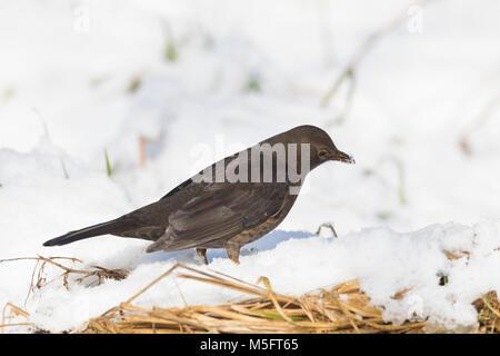 Amsel, im Winter bei Schnee, Schwarzdrossel, Weibchen, Turdus merula, Blackbird, female, snow, Merle noir - Stock Photo