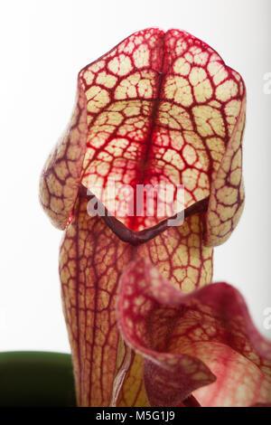 Trumpet Pitcher Plant, Flugtrumpet (Sarracenia purpurea) - Stock Photo