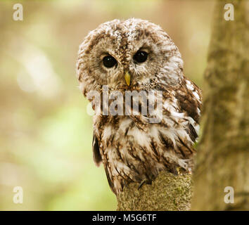 Brown owl looking behind from the tree - Strix aluco - Stock Photo