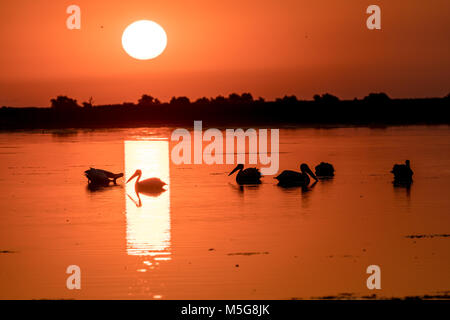 White Pelican colony in Danube Delta at sunrise - Stock Photo