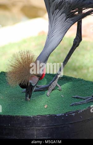 Grey crowned crane, (Balearica regulorum), South Africa - Stock Photo