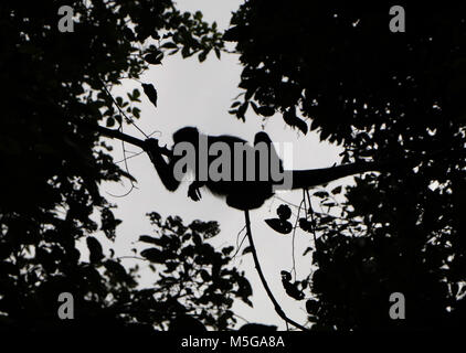 Spider Monkey (Ateles geoffroyi). Corcovado National Park, Osa Peninsula, Costa Rica. - Stock Photo