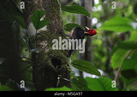 pale-billed woodpecker Costa Rica Corcovado National Park Osa Peninsula - Stock Photo