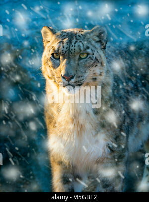 Snow leopard or ounce Panthera uncia in snow storm - Stock Photo