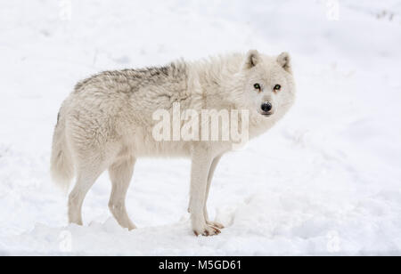 'Trust Me, or Not!' said  the Arctic Wolf - Stock Photo