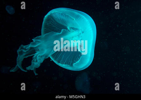 Blue and turquoise jellyfish with flowing tentacles in dark waters - Stock Photo