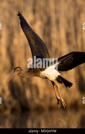 juvenile black stork Ciconia nigra - Stock Photo