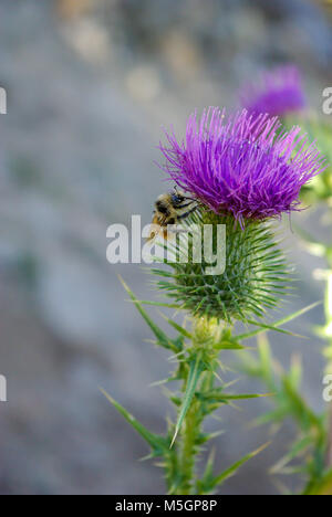 Bumble bee on a purple thistle with blurred background - Stock Photo