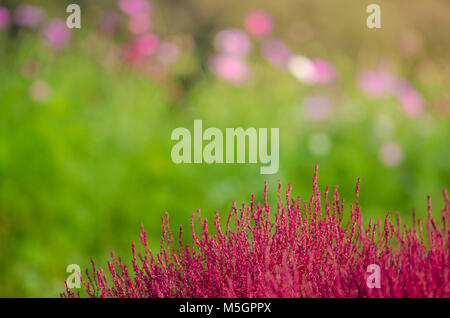 Background of beautiful Cosmos and Kochia at Hitachi Seaside Park with clear blue sky very good day - Stock Photo
