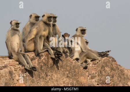 family of gray langurs that sits on the wall of an ancient Indian fort on a sunny winter day - Stock Photo