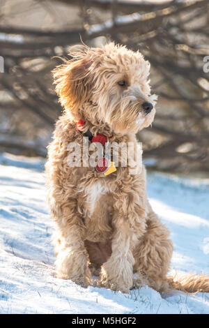 Goldendoodle puppy sitting in the snow - Stock Photo