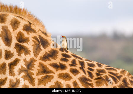 A single Red-billed oxpecker (Buphagus erythrorhynchus) perched on the back of a Masai giraffe (Giraffa tippelskirchi), - Stock Photo