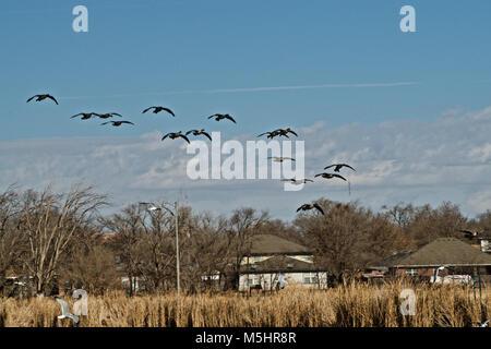 Canada Goose Flock Landing on Lindsey Park Public Fishing Lake, Canyon, Texas - Stock Photo